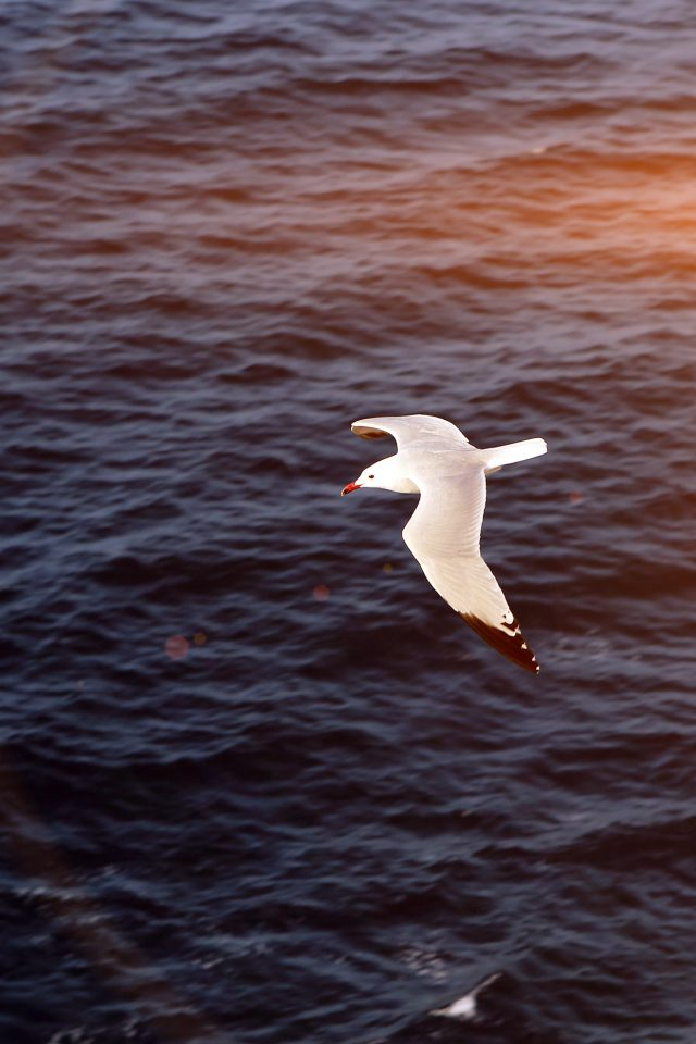 Seagull Bird Sea Ocean Animal Nature Flare Android wallpaper