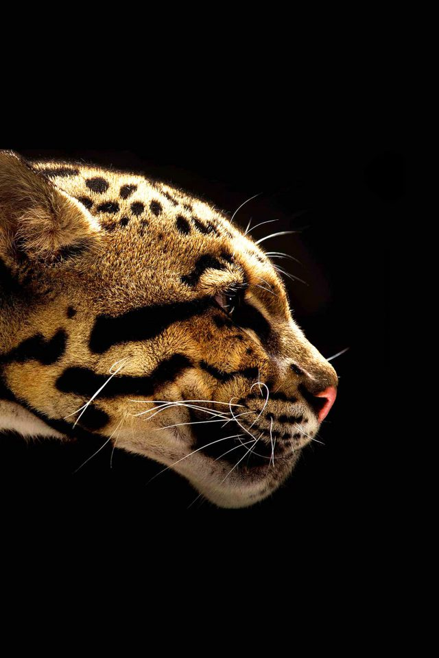 Wallpaper Wild Cat B Animal Android wallpaper