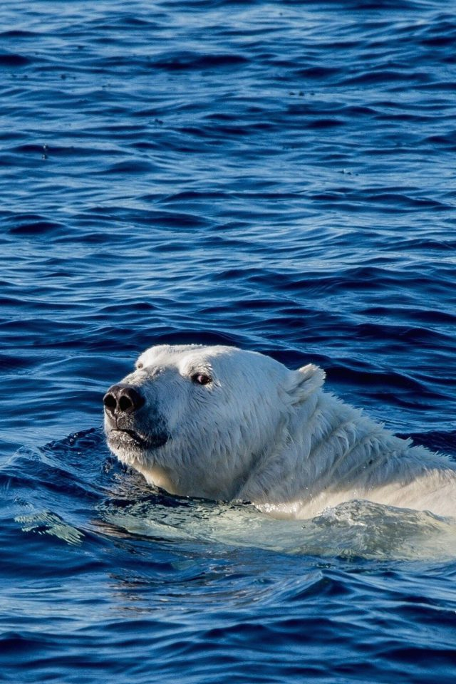 Watch Me Swim Polar Bear Sea Animal Android wallpaper