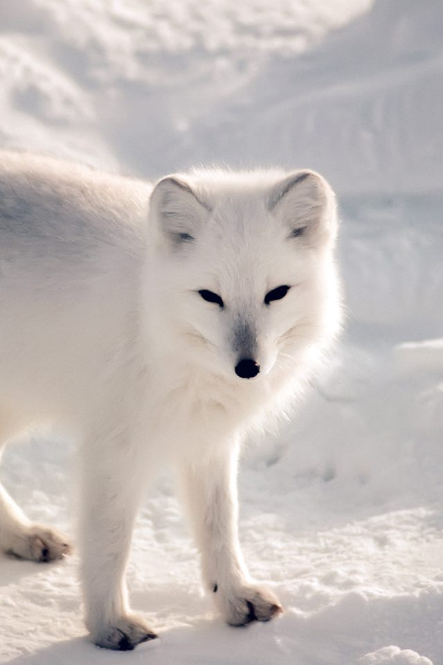 White Artic Fox Snow Winter Animal Android wallpaper