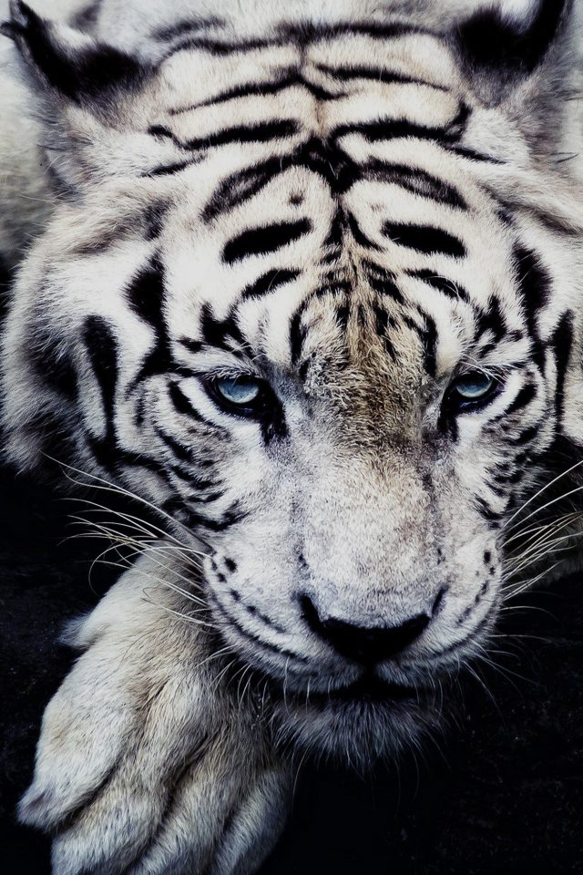 White Tiger Animal Android wallpaper