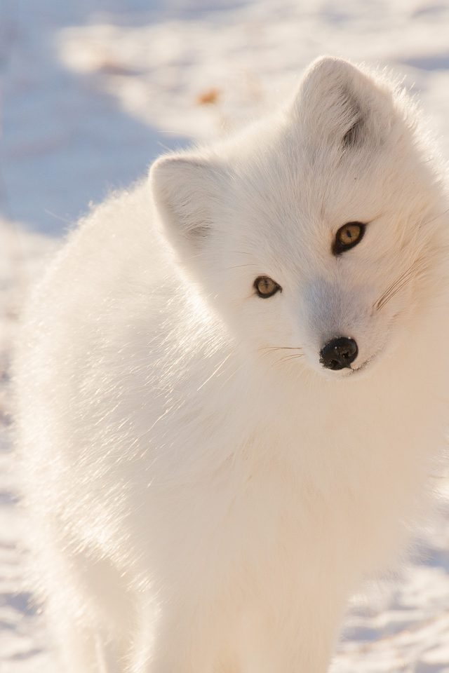 Winter Animal Fox White Android wallpaper
