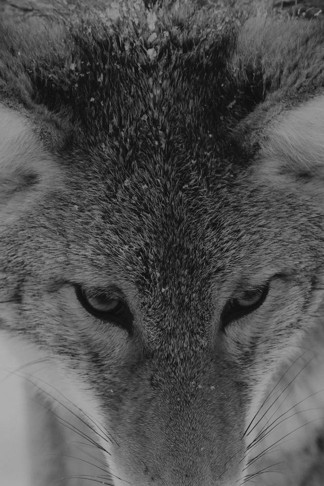 Wolf Snow Animal Dark Bw Levi Saunders Android wallpaper