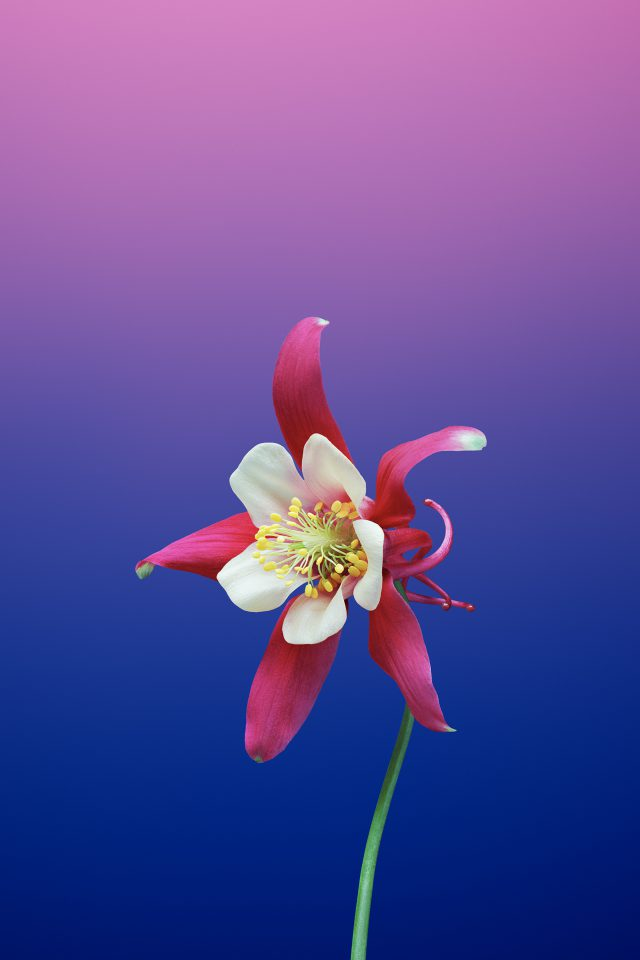 Flower AQUILEGIA Android wallpaper